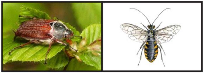 Maj – okres zabiegów ograniczających liczebność populacji szkodliwych owadów leśnych- chrabąszczy i osnui gwiaździstej